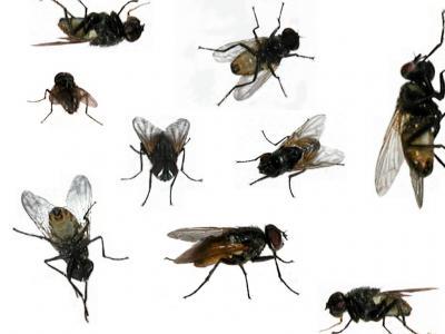 Ruồi và cách diệt ruồi