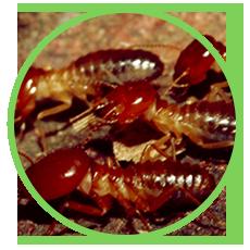 mối là côn trùng gây hại