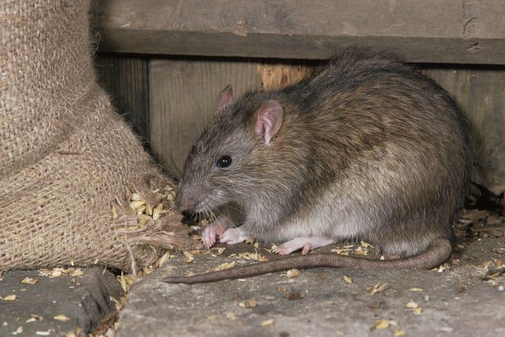 diệt chuột không cần mồi