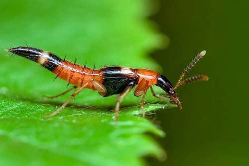 Hậu quả nghiêm trong do kiến ba khoang gây ra