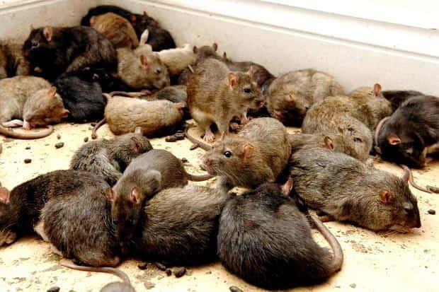 Cách bẫy chuột đơn giản và hiệu quả