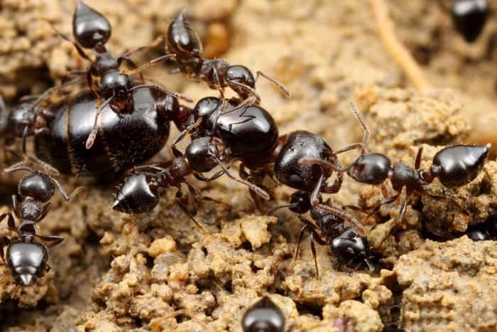 kiến thức loài kiến và cách diệt kiến tận gốc